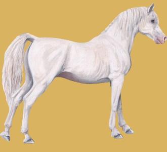 Recueillir un cheval de race pur sang arabe
