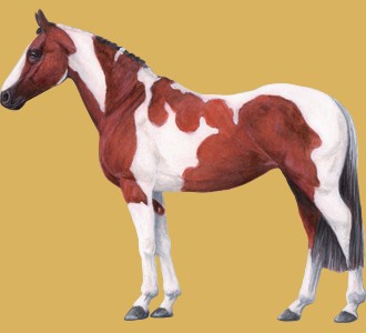 Paint horse adulte - robe 35