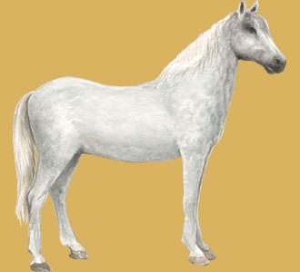 Lipizzan adulte - robe 52