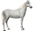 Lipizzan adulte - robe 71
