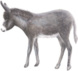 Âne gris poulain - robe 52