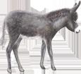 Âne gris poulain - robe 71